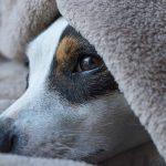 Pet Trust Jack